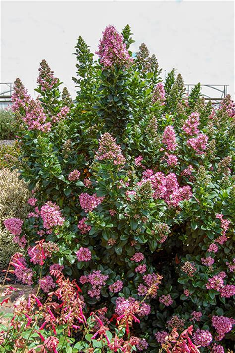Fairy Garden Container - escallonia pink elle