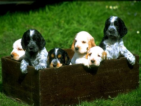 box of puppies box of puppies puppies wallpaper 13814726 fanpop