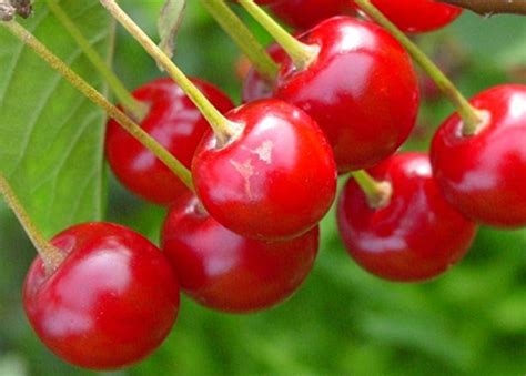 Pohon Cherry By One Home cherry fruit will be chilling in new tien giang plant