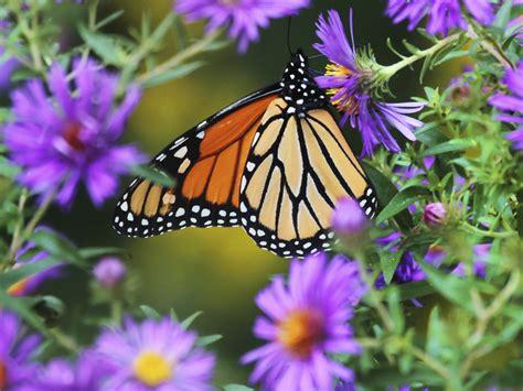 imagenes mariposas naturaleza el renacer de las mariposas monarca