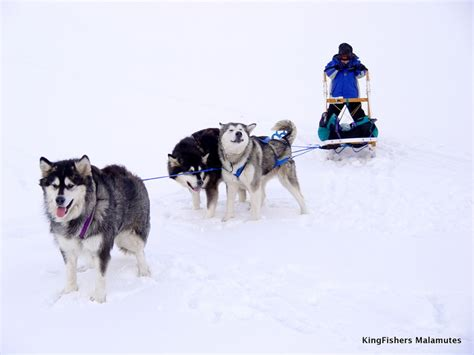alaskan sled dogs alaskan malamute sled dogs related keywords alaskan