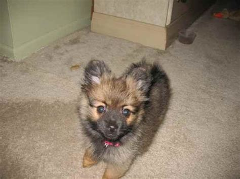 pomeranian mixed with german shepherd 221 best pomeranian sheepdog images on pomeranian pomeranians and