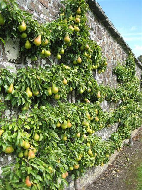 fruit trees in pa frugttr 230 sespalier der ogs 229 st 229 r smukt omkring terrassen