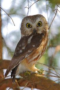 Home Plans Ontario northern saw whet owl photograph by bruce j robinson