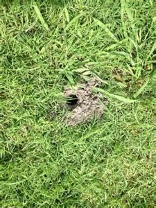 holes in yard dfw mustangs