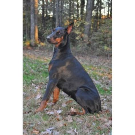 doberman pinscher puppies for adoption doberman pinscher puppies and dogs for sale and adoption page 3 freedoglistings
