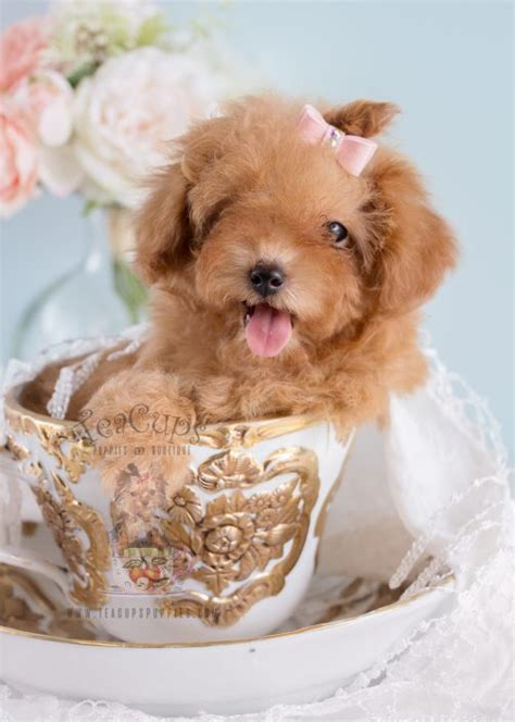 tiny teacup poodle puppies for sale teacup and poodle puppies teacups puppies boutique