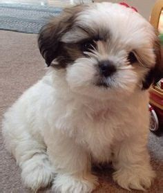 shih tzu mix with maltese mal shi maltese x shih tzu mix temperament puppies pictures