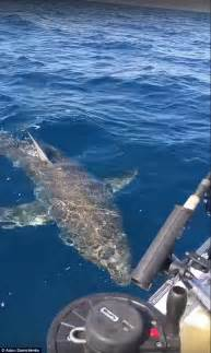 shark in boat great white shark rams into boat and takesbite out of