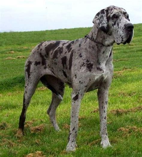 gray great dane puppy 25 best ideas about grey great dane on great dane colors great dane dogs