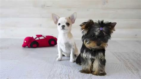 teacup yorkie and chihuahua mix terrier and chihuahua
