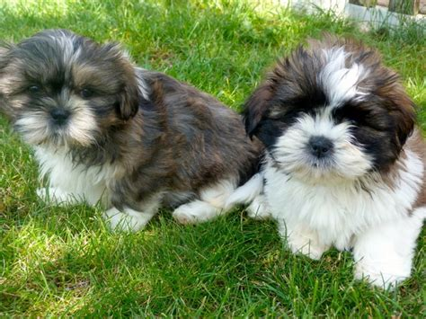 shih tzu for adoption uk shih tzu for adoption offer