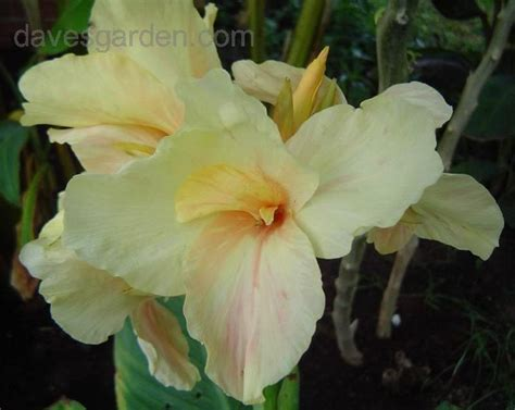 Kanna White Soft 29 best canna lillies images on