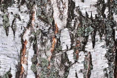 rinde der birke n 252 tzlich f 252 r hintergrund