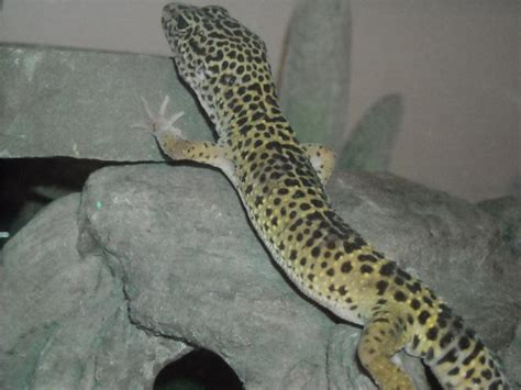 Leopard Gecko 2 leopard gecko 2 by godzilla2915 on deviantart