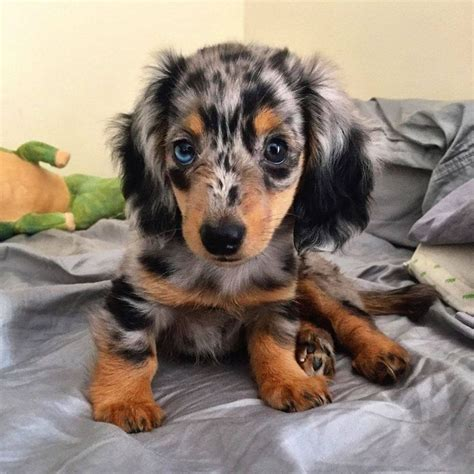 haired dapple dachshund puppies best 25 dapple dachshund ideas on dapple dachshund puppy dapple