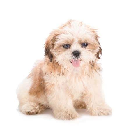 is shih tzu hypoallergenic top 5 best dogs for allergies top tips