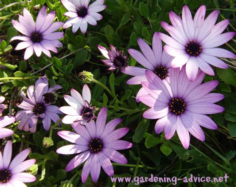 garden flowers annuals annual plants how to get the best out of your annual