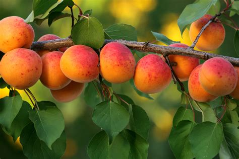 what of fruit grows on trees the five easiest fruit trees to grow the garden