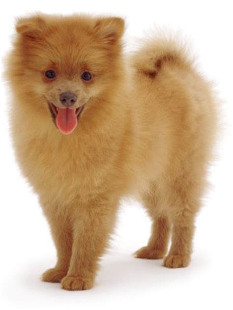 how to tell if your is a pomeranian pomeranian puppy pictures your puppy photos