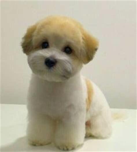 hair cut shih tzu snd poodle toy poodle teddy bear cut omg sooo cute puppy love