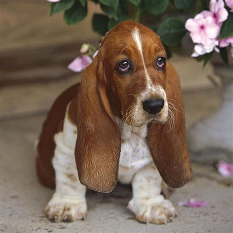 basset hound puppy rescue 25 best ideas about miniature basset hound on basset hound rescue dogs