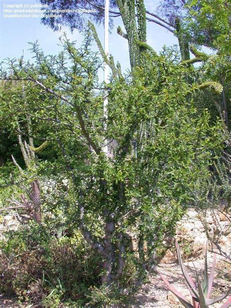 Quail Botanical Gardens Encinitas California Plantfiles Pictures Jabily Elephant Tree Operculicarya Decaryi By Palmbob
