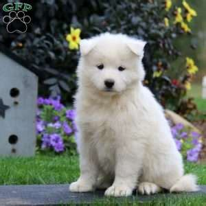 puppies for sale in nj 300 samoyed puppies for sale in de md ny nj philly dc and baltimore breeds picture