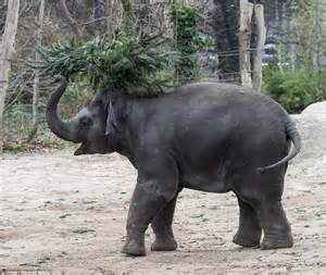 Christmas trees donated to the zoo by local vendors who had not sold