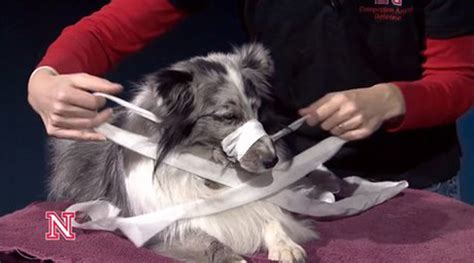 how to muzzle a how to make a muzzle out of gauze or fabric dogtime