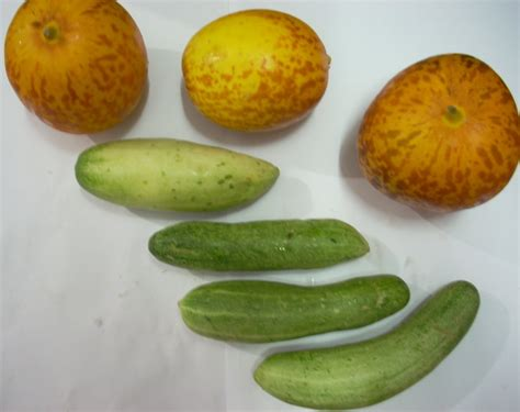 28 best types of cucumbers cucumis sativus images useful tropical plants july 2013 texas