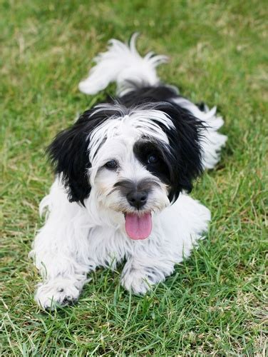 havanese mn the havanese is the national of cuba they were once known as the silk