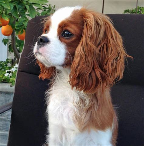 king charles cocker spaniel puppies finley the cavalier king charles spaniel dogs daily puppy