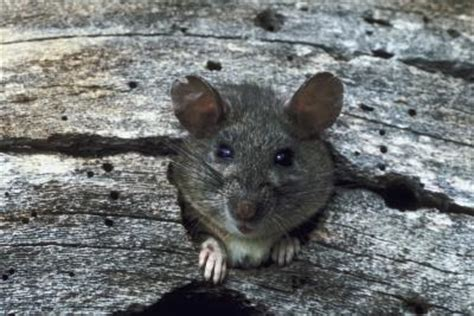 How To Stop Rats Coming Into Garden by How To Prevent Rats From Coming Inside The House Home