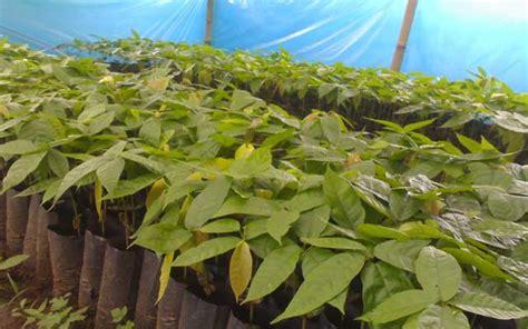 Bibit Kakao langkah mudah pembibitan kakao secara generatif corelita