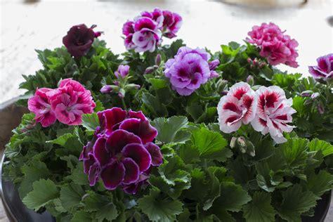 regal pelargonium