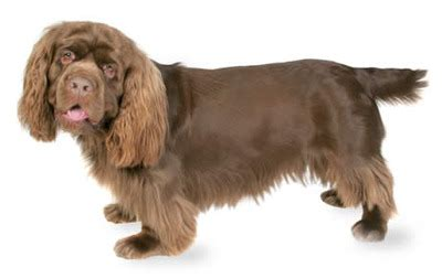 sussex spaniel puppies small breeds list a to z complete with pictures dbcentral