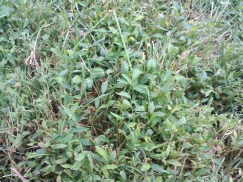 weeds and possible thatch in yard
