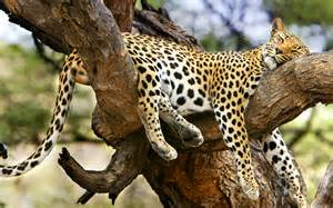 Jaguar In A Tree Jaguar Sleeping Tree Wallpaper 1920x1200 13495