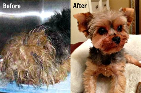 yorkie puppy cut before and after top 10 shelter makeovers of 2013 petfinder