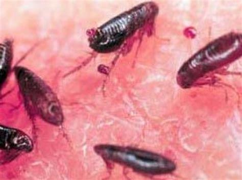 how to rid your house of pesky fleas dengarden