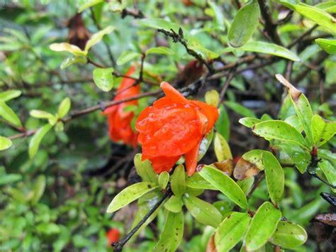 fiori melograno melograno speciali melograno pianta