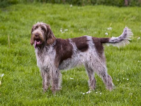 spinone italiano puppy spinone italiano breed guide learn about the spinone italiano
