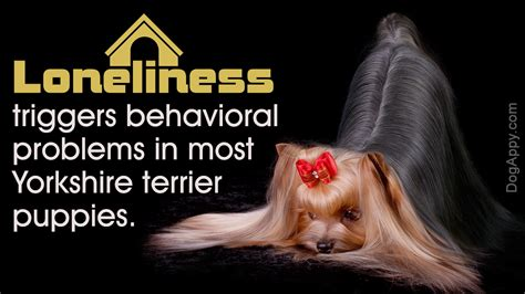 yorkie behavior yorkie behavior problems