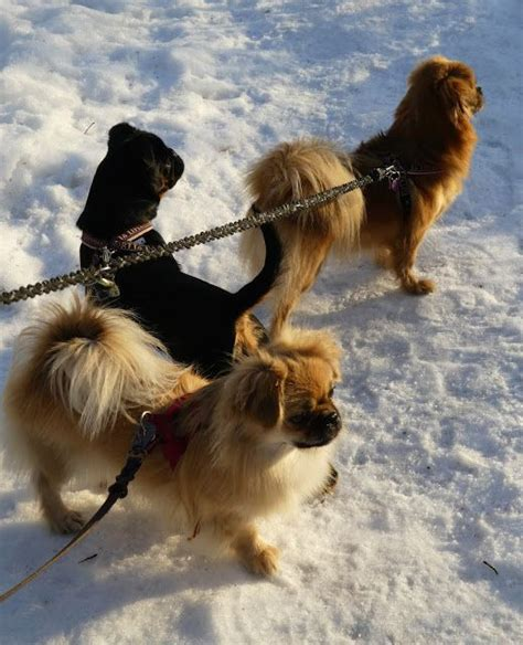 pomeranian diet to lose weight 407 best images about tibbies on spaniel puppies for sale and