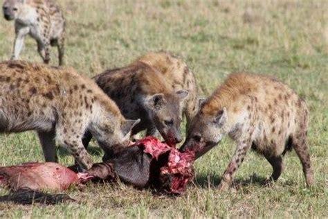imagenes de leones vs hienas hienapedia 187 hienas enciclopedia especializada