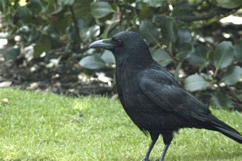 leave the crows alone they eat bugs njn network