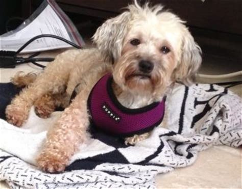 havanese in florida pin by havanese rescue on havanese rescue dogs