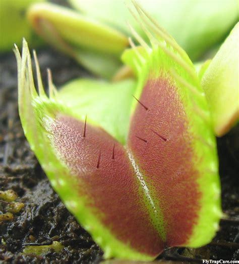 venus fly trap information flytrapcare com