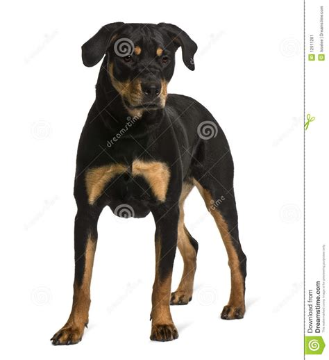 looking rottweiler rottweiler standing and looking stock image image 12911281